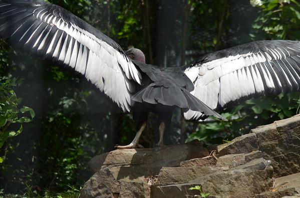 Andean Condor; Chavin