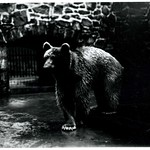 Lions, tigers and bears! The historic exhibits located in the center of the Zoo once housed lions, tigers and, yes, a bear!